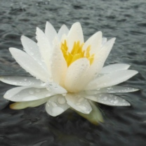 LisaDevi Waterlily
