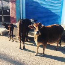Rishikesh Cows Mooo