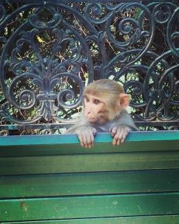 Rishikesh baby monkey